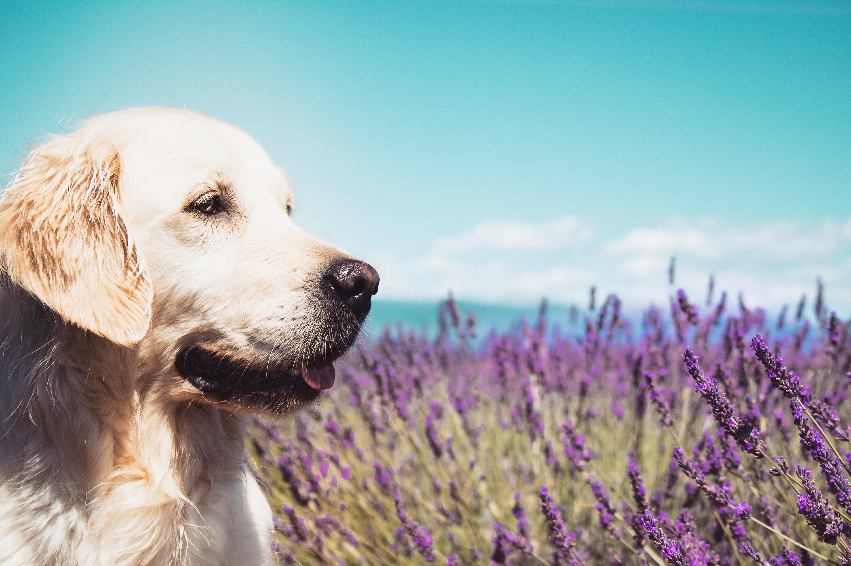 Plateau de Valensole avec son chien