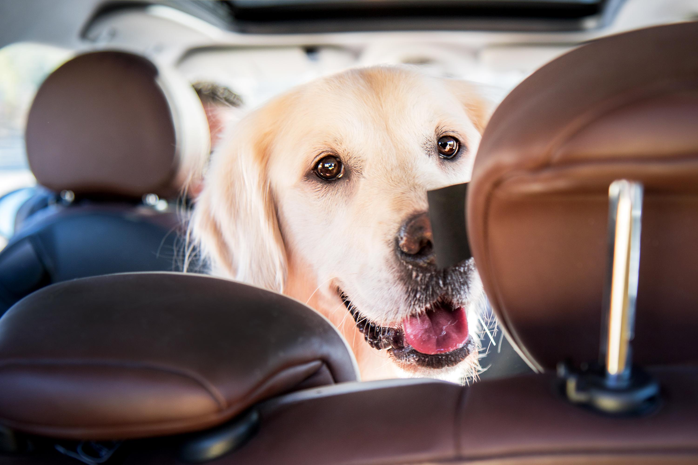 Comment voyager avec son chien